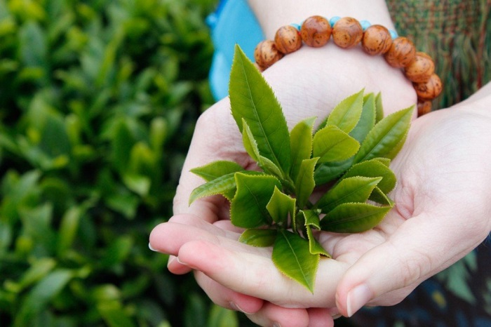 Bài thuốc chữa viêm phụ khoa từ lá trầu không và trà xanh